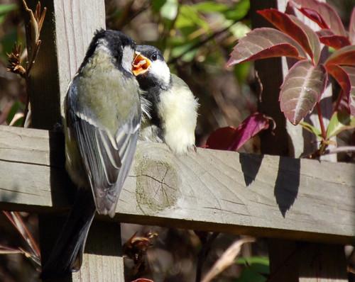 Adult Great Tit Feeding Chick